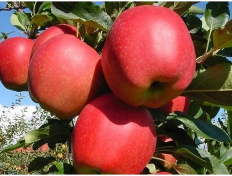 Яблоня Гала Маст