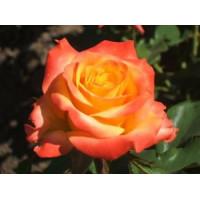 Роза Альмер Голд(чайно-гибридная)
