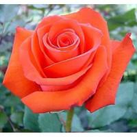 Роза Корветт(чайно-гибридная)