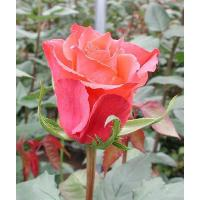 Роза Апачи(чайно-гибридная)