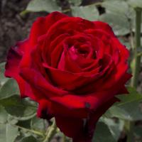 Роза Лавли Ред(чайно-гибридная)