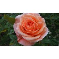 Роза Сусанна(чайно-гибридная)