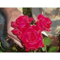 Роза Кардинал 85(чайно-гибридная)
