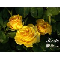 Роза Kerio(чайно-гибридная)