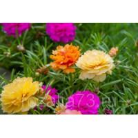 Портулак Цветик-семицветик Арт. 5740 | Семена