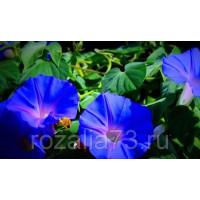 Ипомея Голубая Звезда Арт. 5700 | Семена