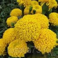 Тагетес Золотой помпон Арт. 5745 | Семена