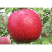 Саженцы яблони оптом