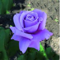 Роза Голубой Нил(чайно-гибридная)