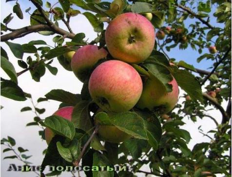 Яблоня Анис полосатый