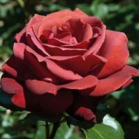 Роза Шоколатина(чайно-гибридная)
