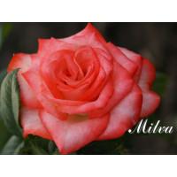 Роза Milva(чайно-гибридная)