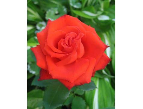 Роза Mercedes (Мерседес)(чайно-гибридная)